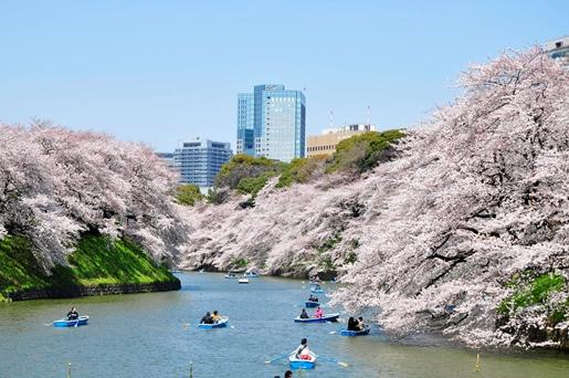 千鳥ケ淵緑道の桜