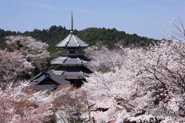吉野山に咲く桜