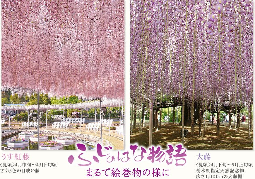 あしかがフラワーパークで咲き誇る藤の花