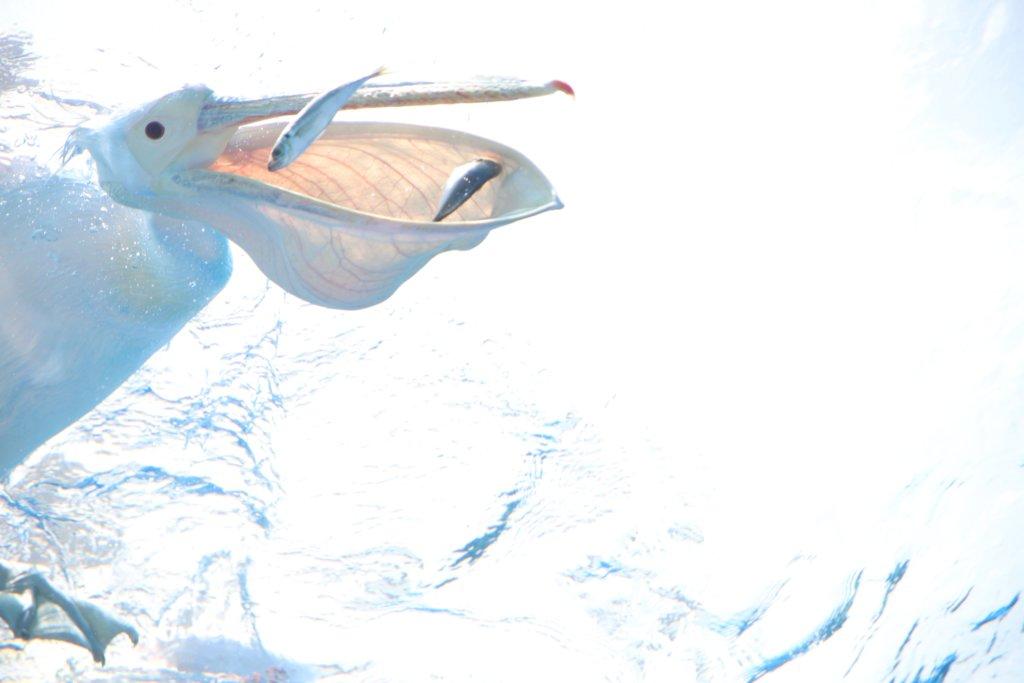魚を食べるペリカン