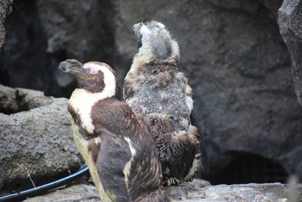 換羽中のペンギン